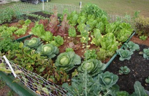 garden-cropped-broccoli-seed-1