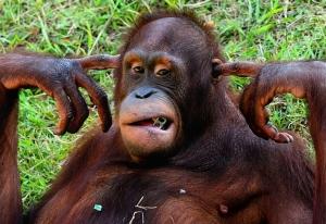 hear-no-evil-orangutan-ay_99009502